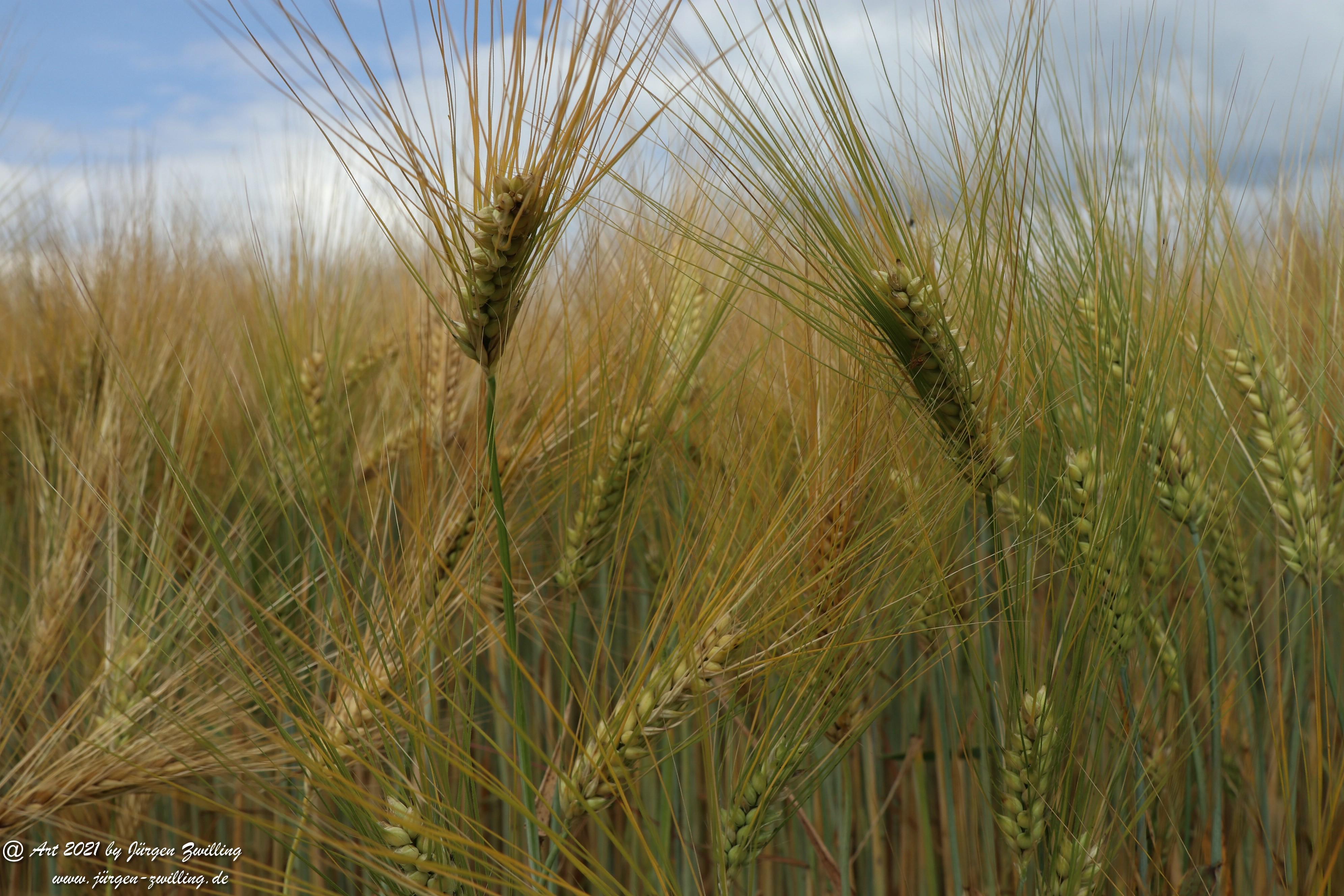 Getreide 10