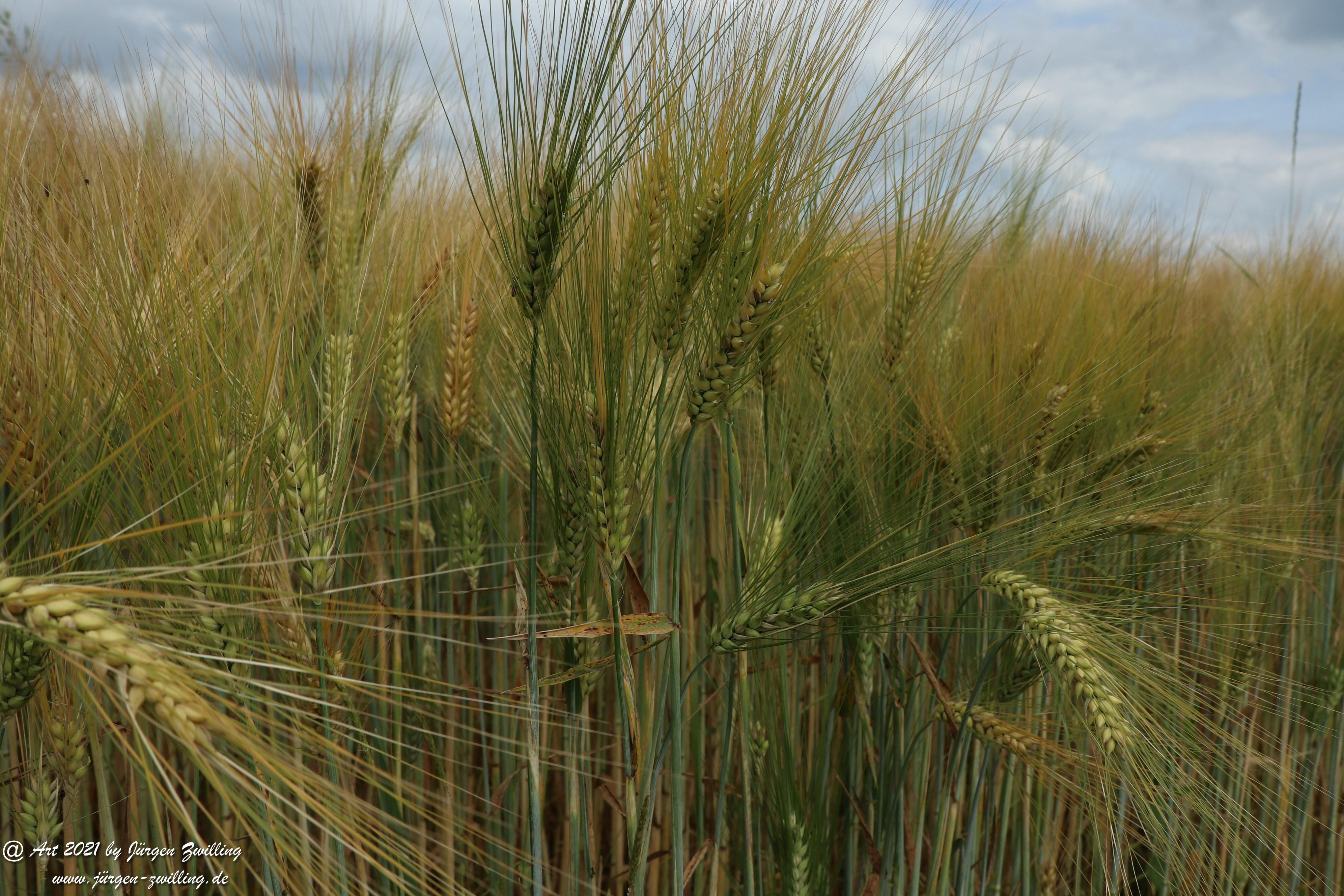 Getreide 11