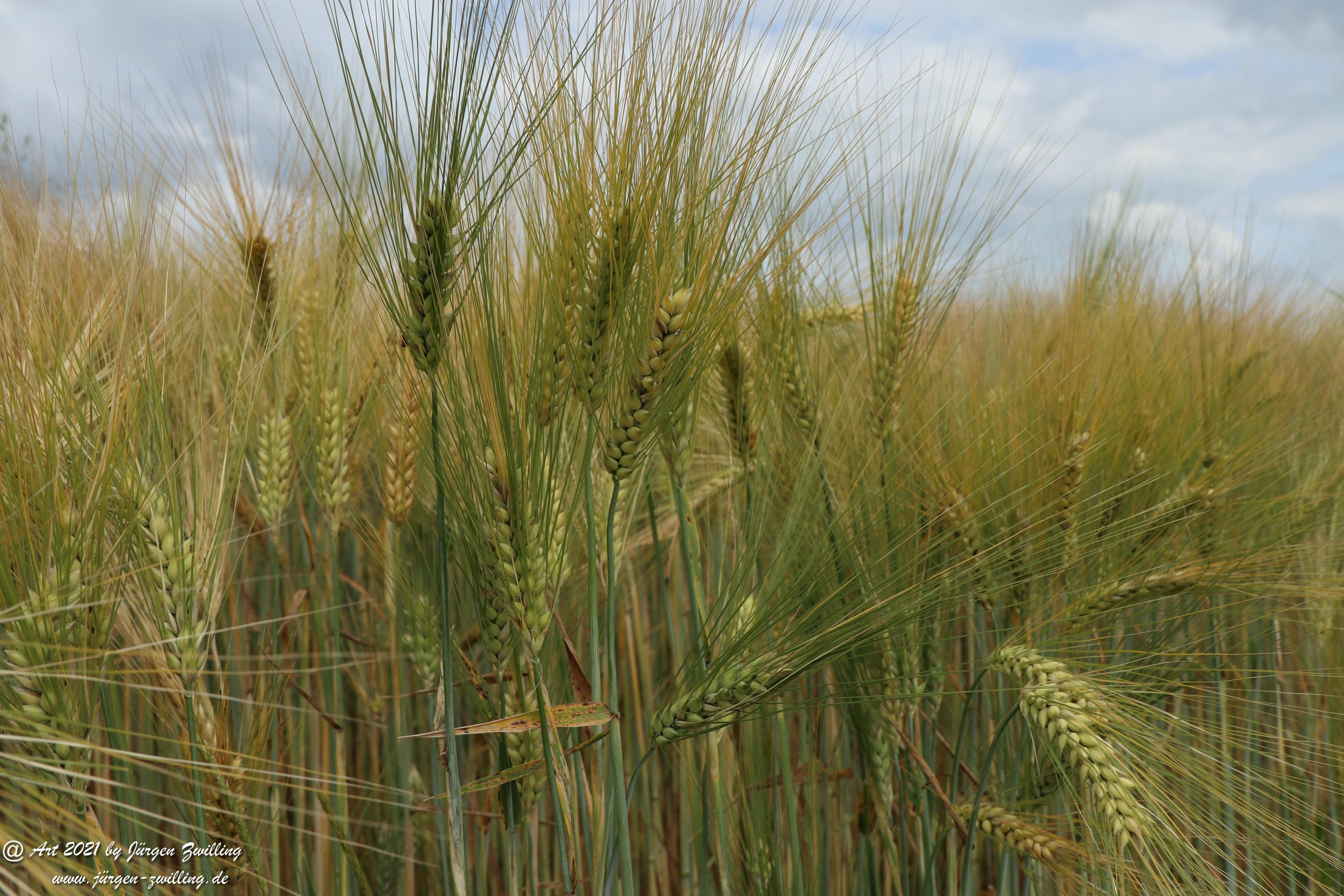 Getreide 12