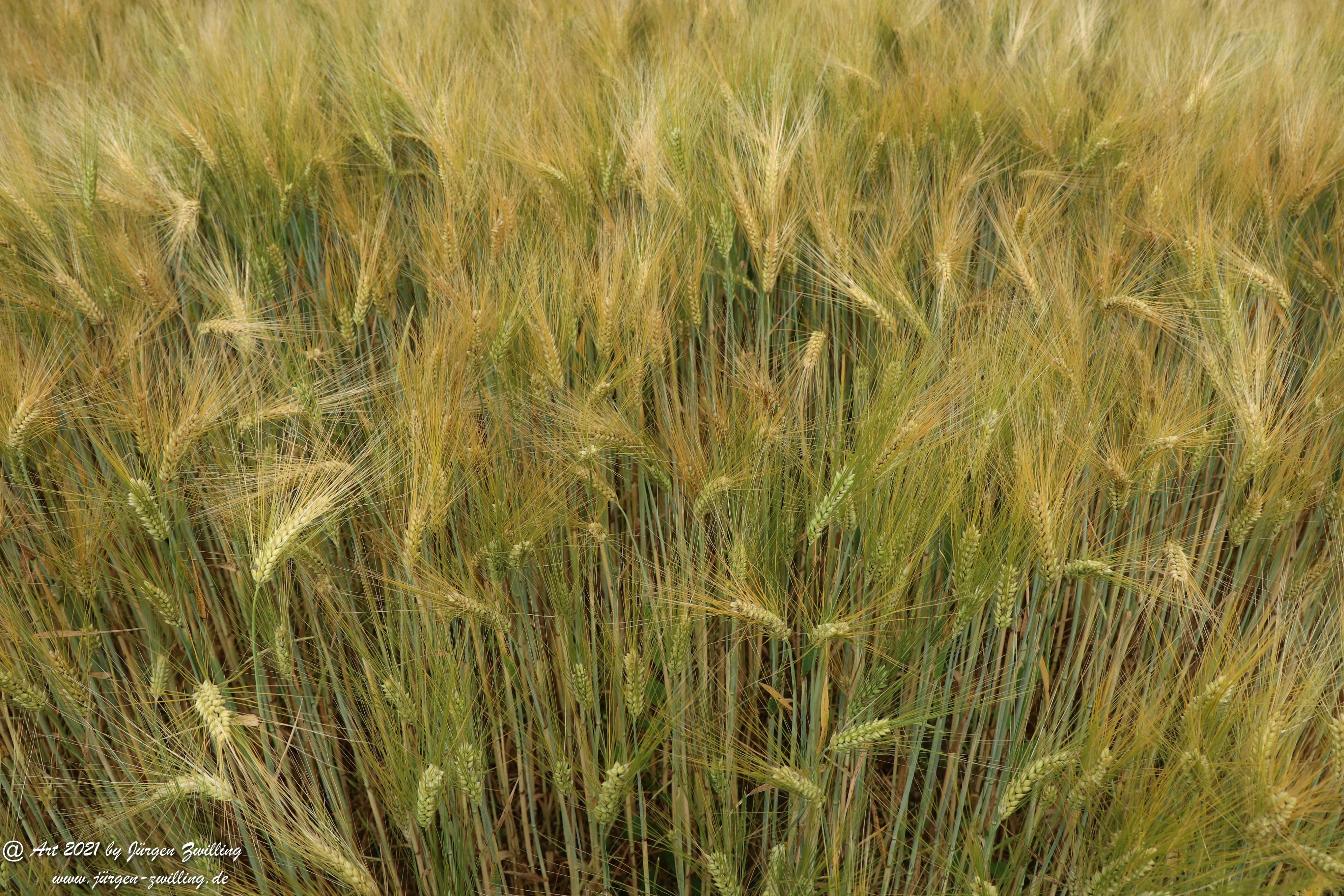Getreide 13