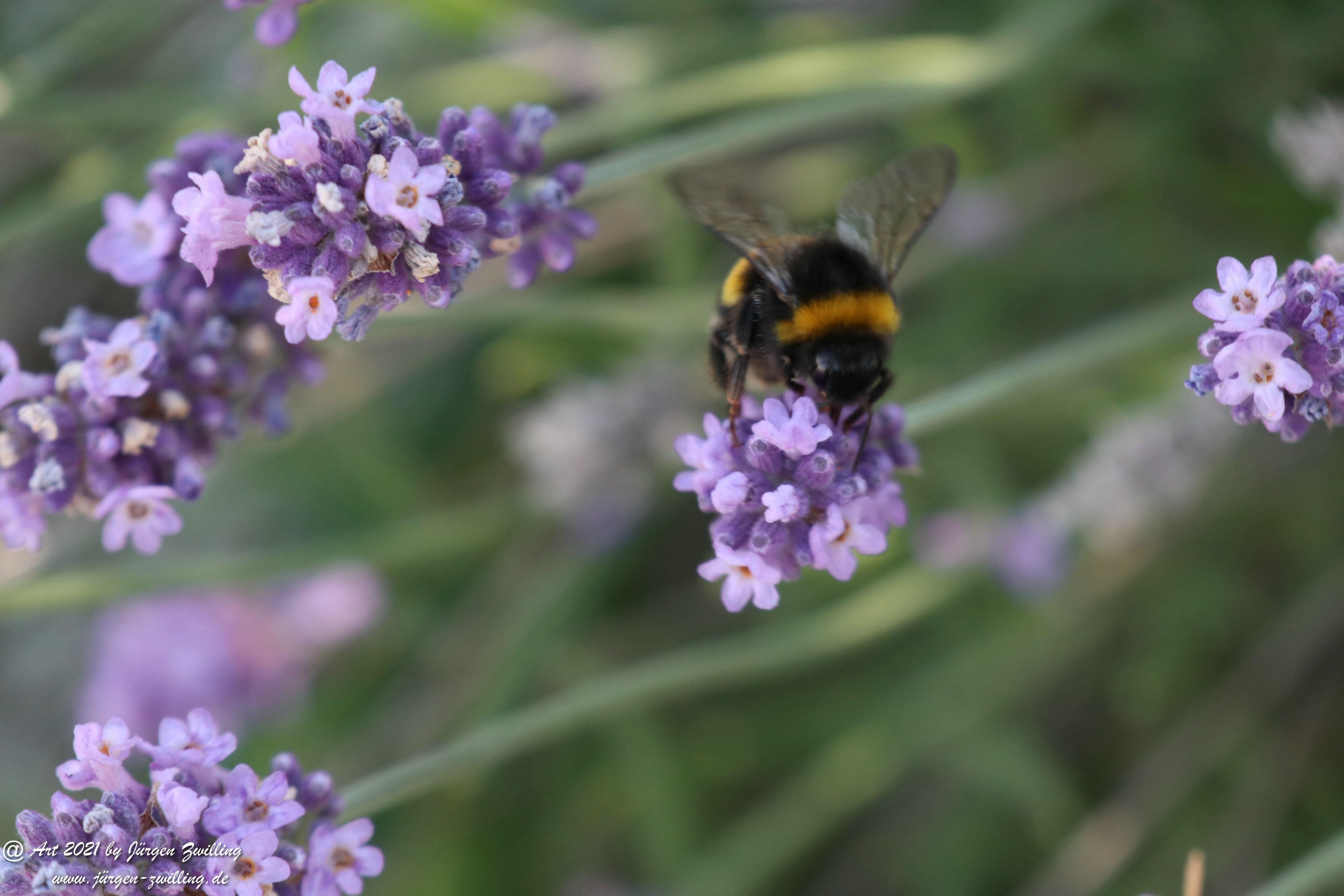 Lavendel 6
