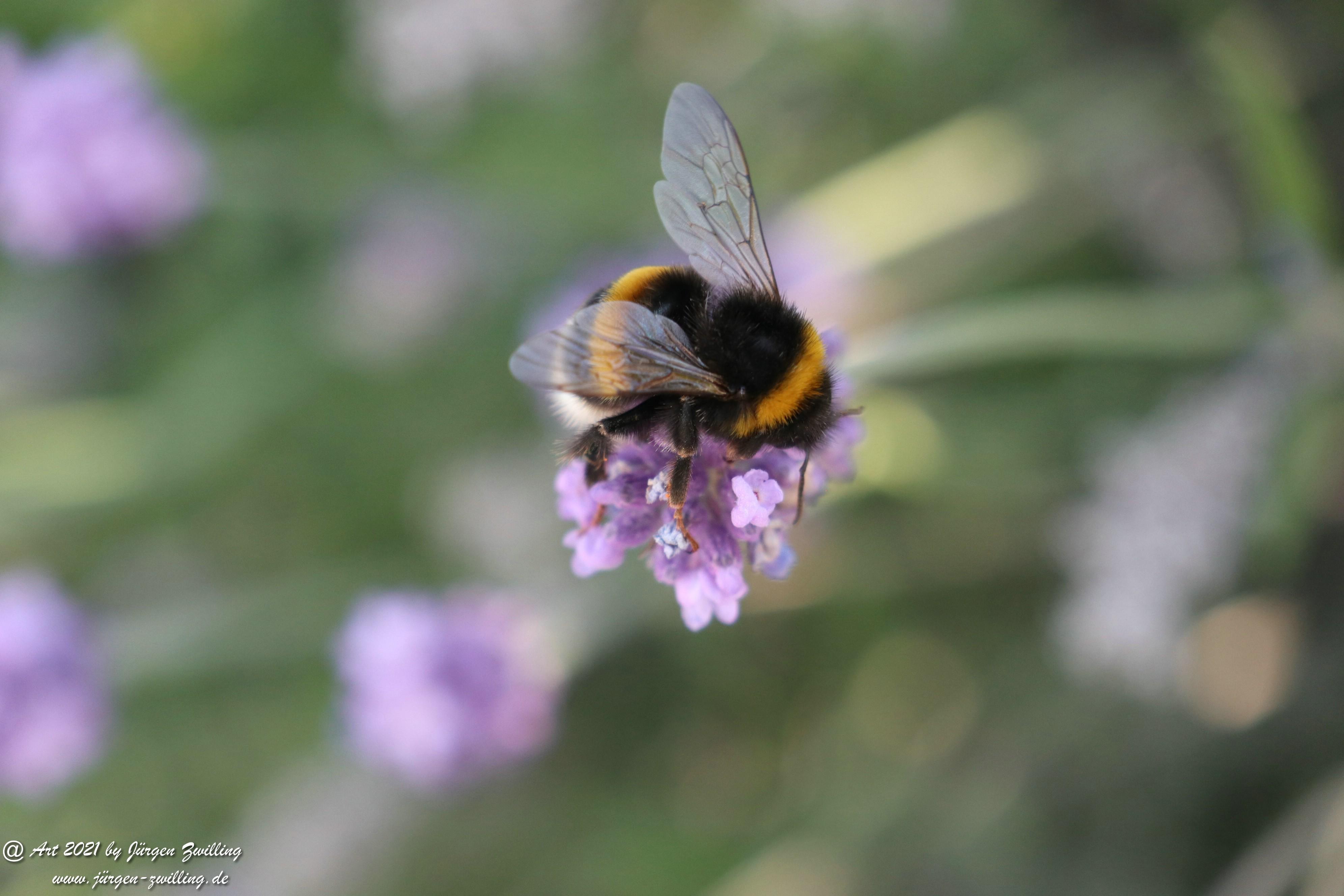 Lavendel 7
