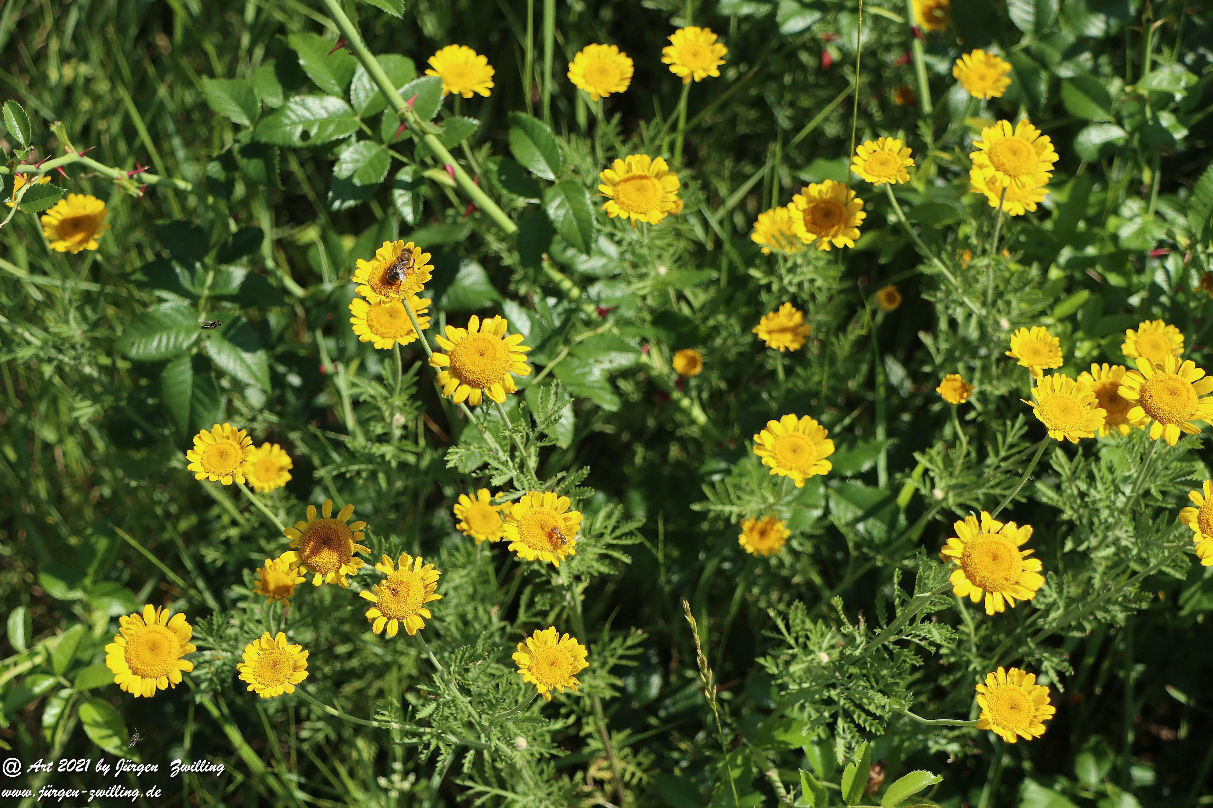 Yellow Buttercup 1