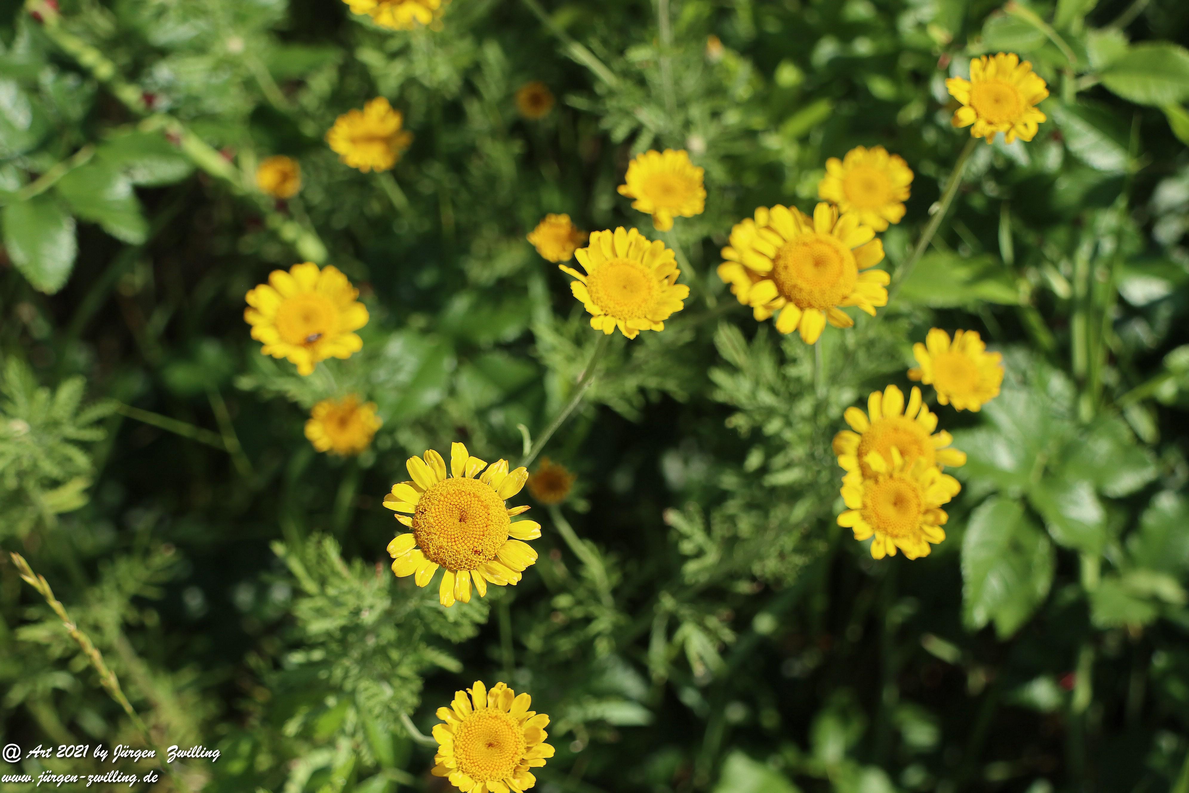 Yellow Buttercup 2