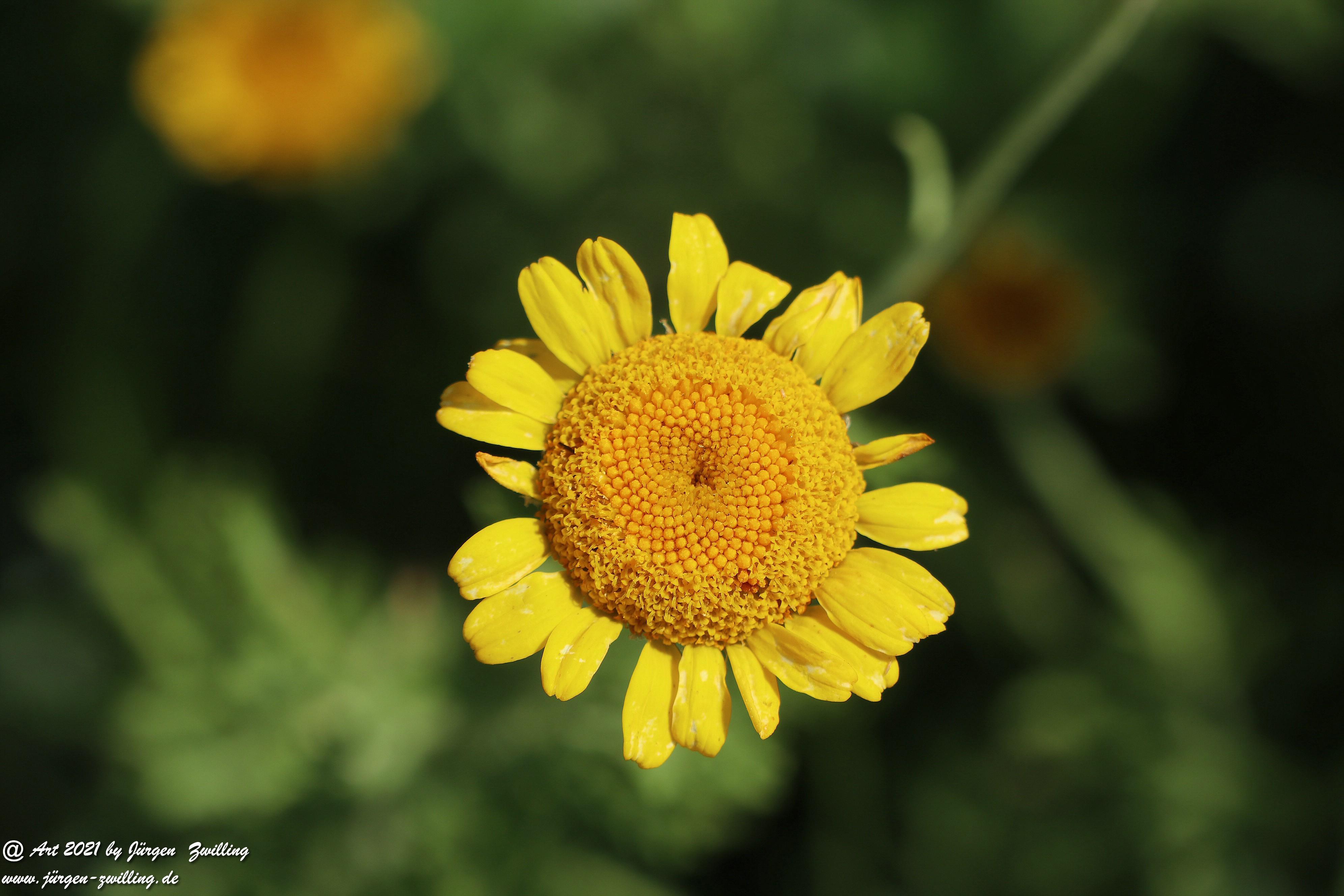 Yellow Buttercup 3