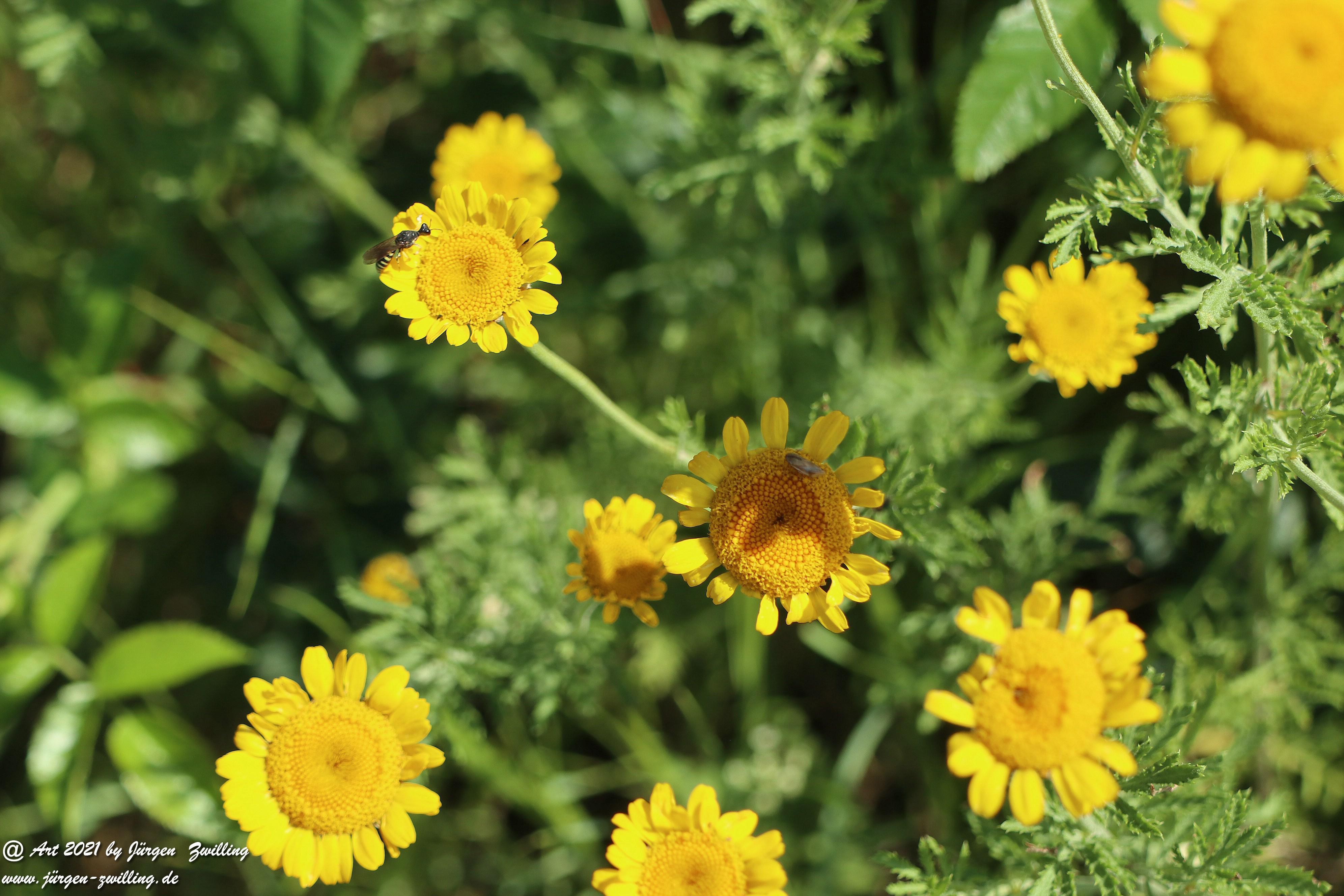 Yellow Buttercup 5