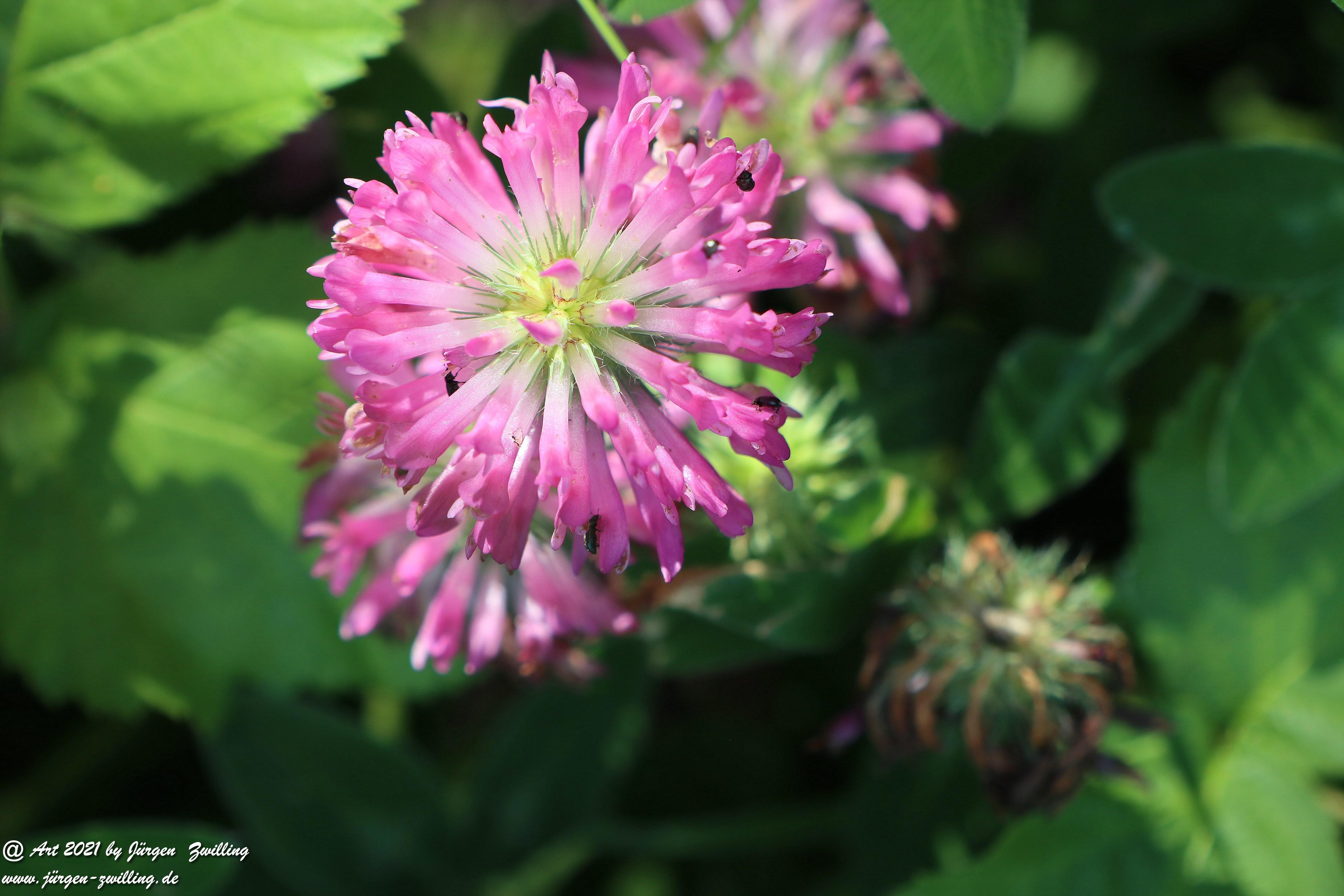 Trifolium Medium  4