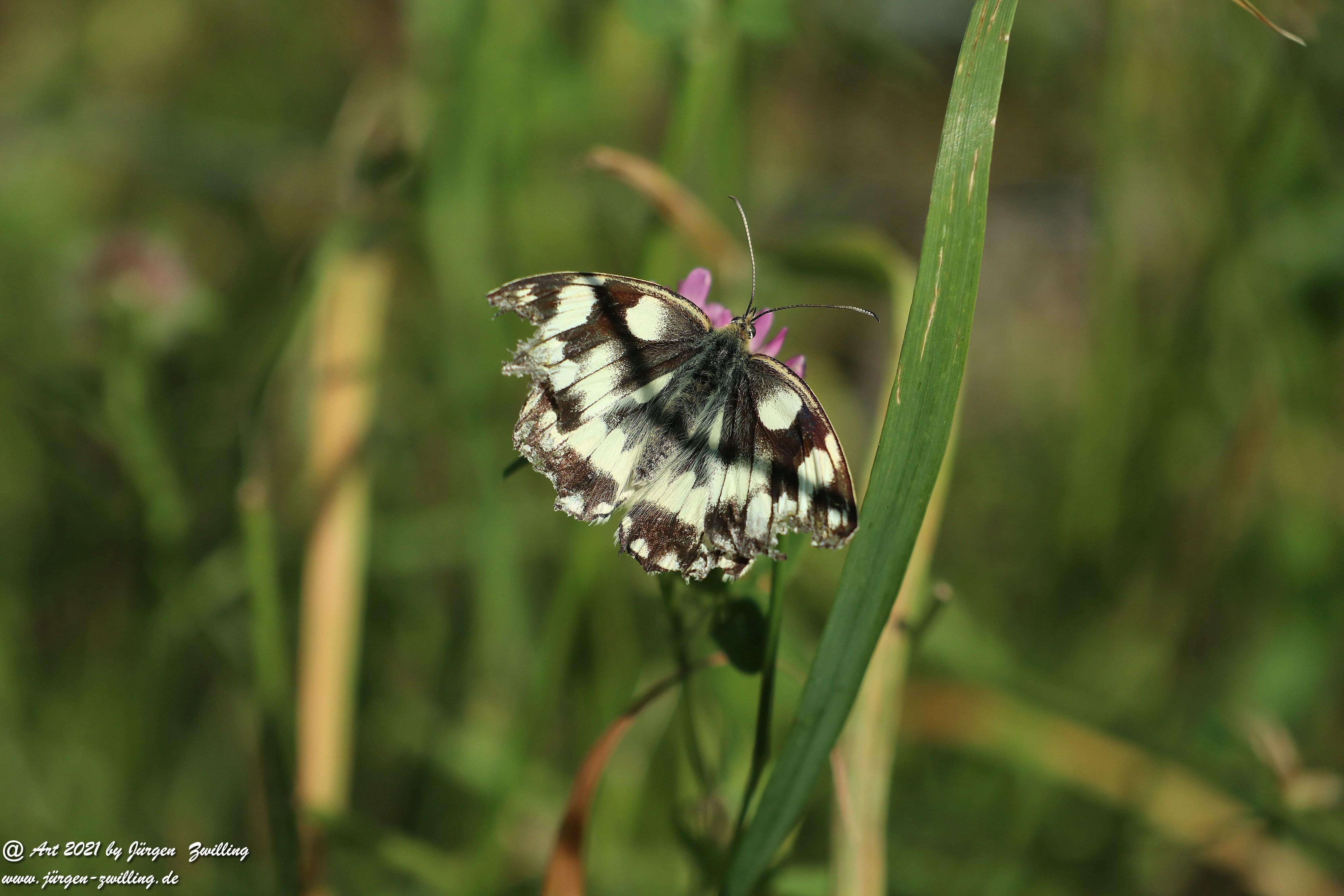 Marbled White butterfly