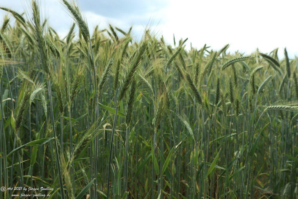 Getreide - Hochstetten Dhaun - Rheinhessen