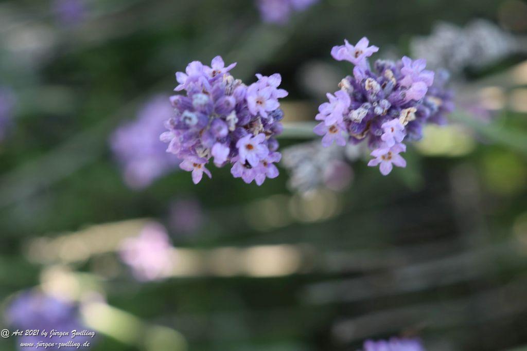 Lavendel - Hackenheim - Rheinhessen