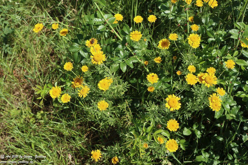 Yellow Buttercup -Bretzenheim - Nahe - Rheinhessen