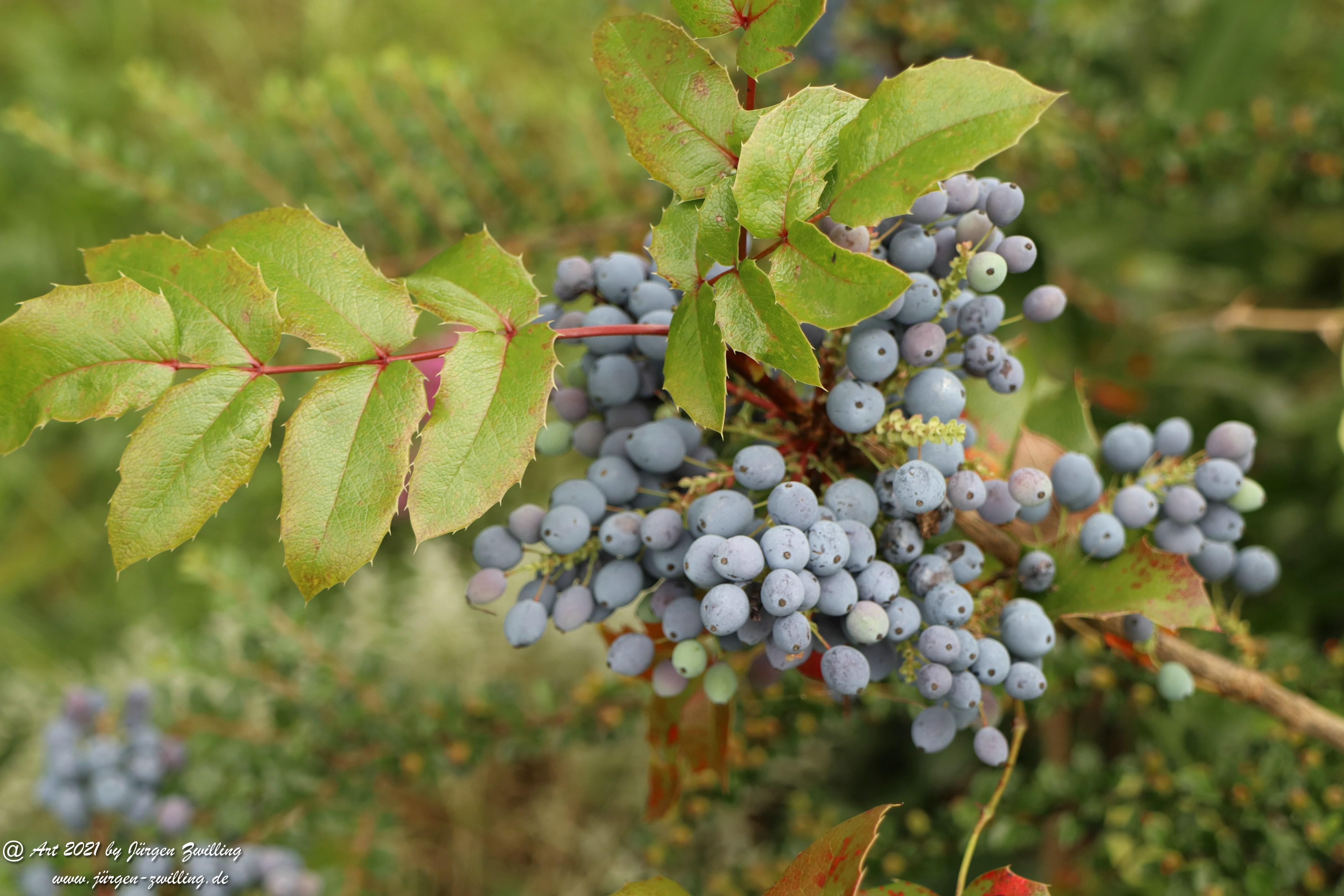 Creeping Oregon Grape Seeds 1