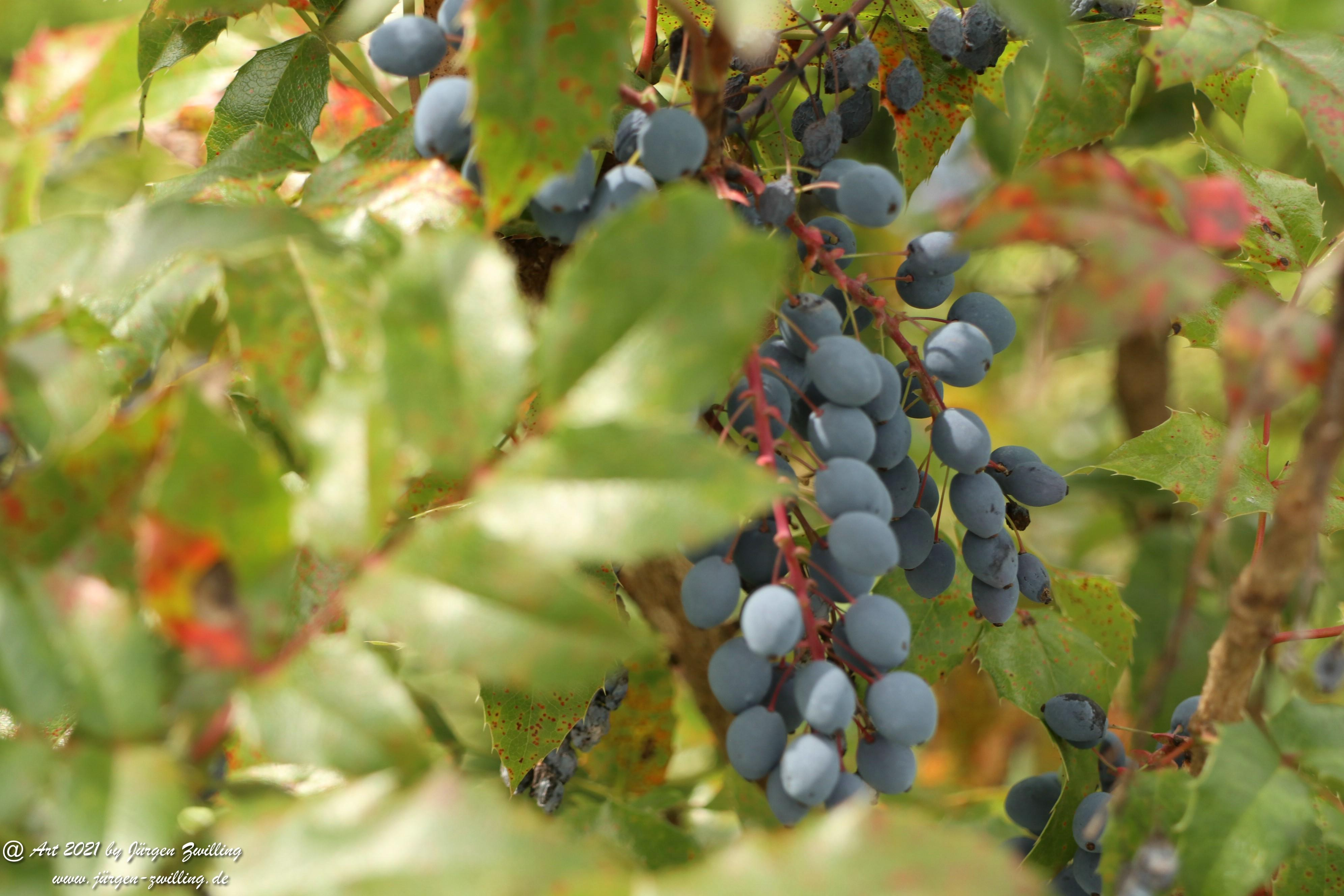 Creeping Oregon Grape Seeds 3
