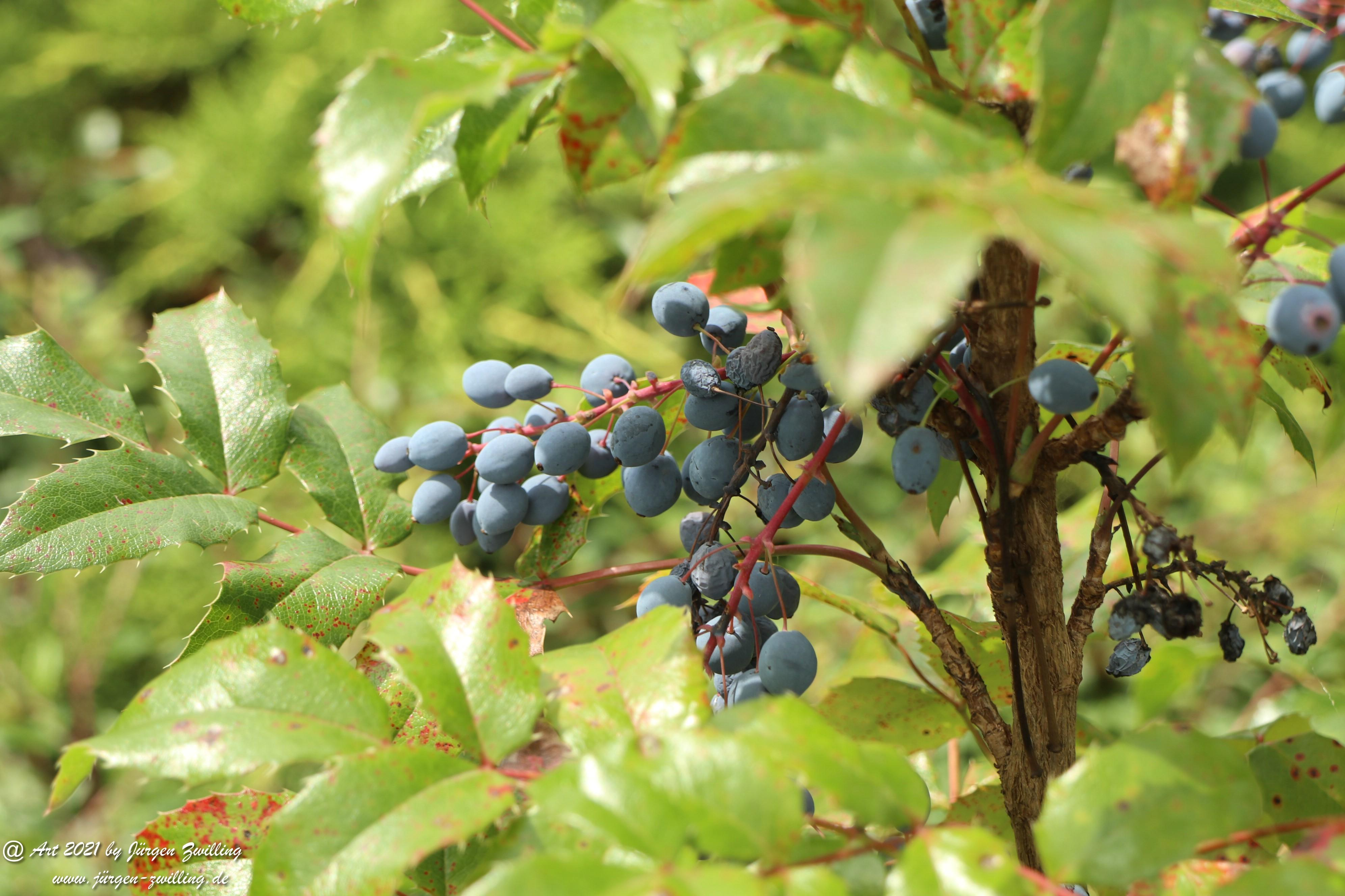 Creeping Oregon Grape Seeds 4