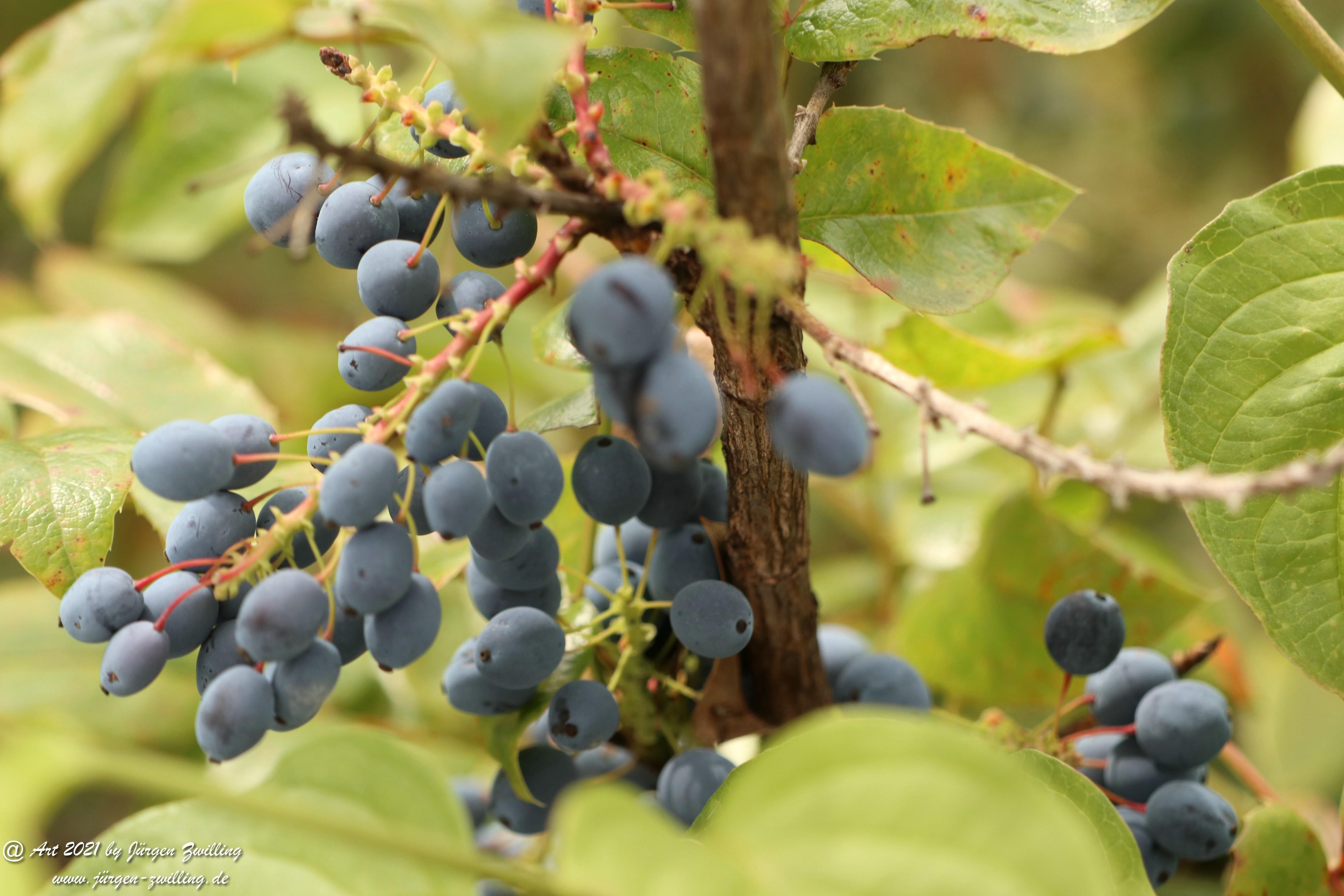 Creeping Oregon Grape Seeds 6