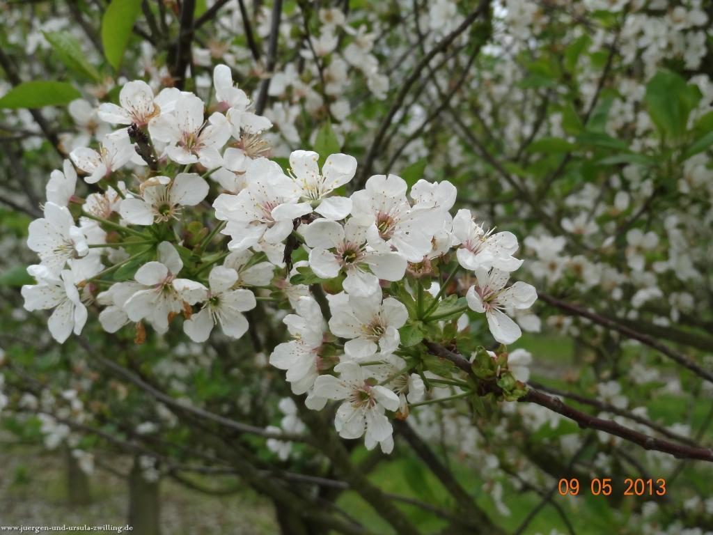 Blüten Impressionen in den Feldern von Mainz Finthen mit herrlichen Blicken in den Taunus und das Rheingau