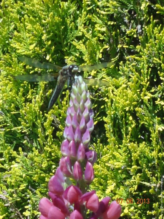 Libelle (Odonata) - eine von 5680 bekannten Arten auf einer Lupine (Lupinus) im Garten