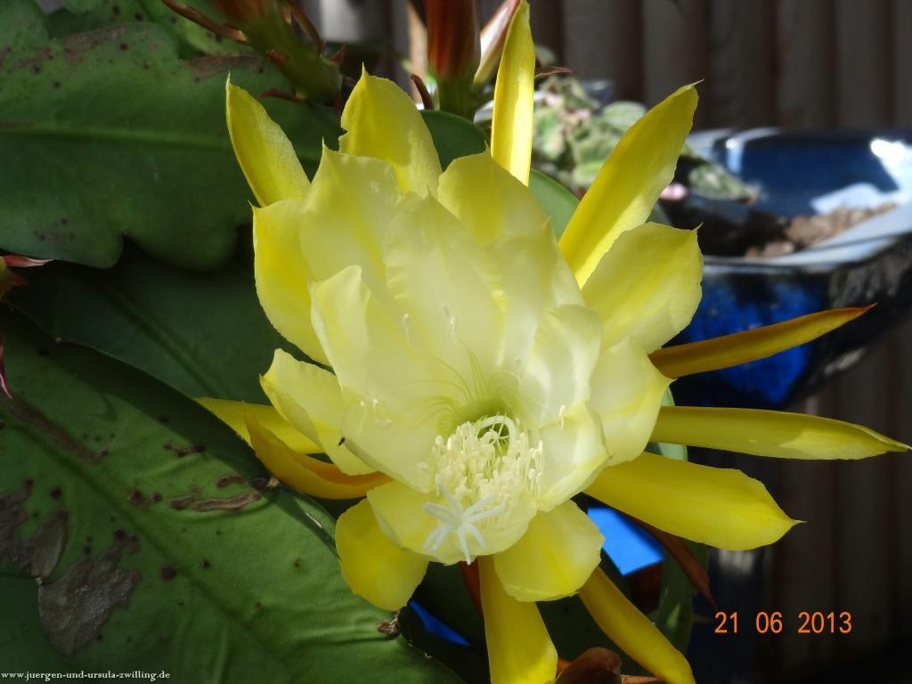 Epiphyllum - 21.06.2013