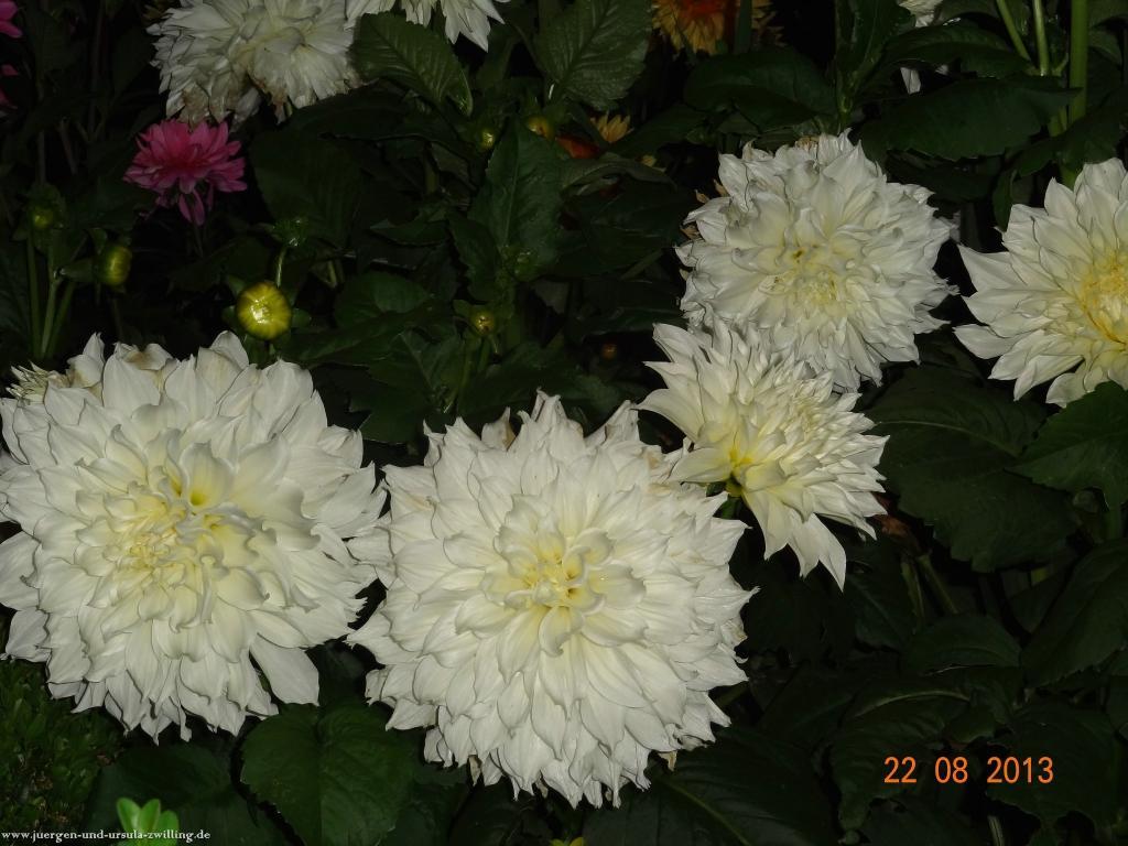 Blüte bei Nacht 22.08.2013