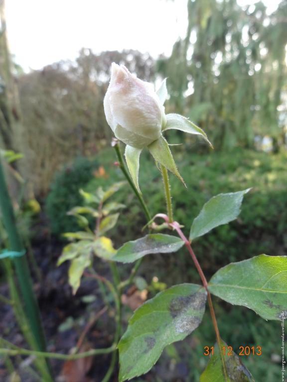 Letzte Rosen 2013 - Erste Rosen 2014 im Garten
