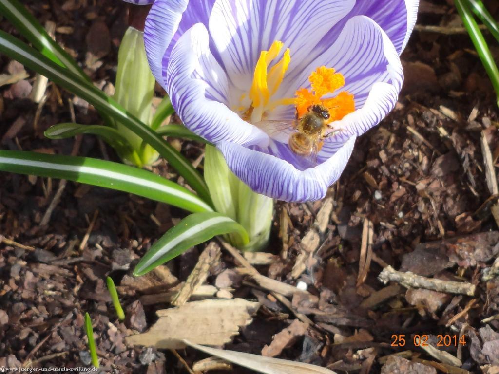 25.02.2014  Bienenglueck im Garten