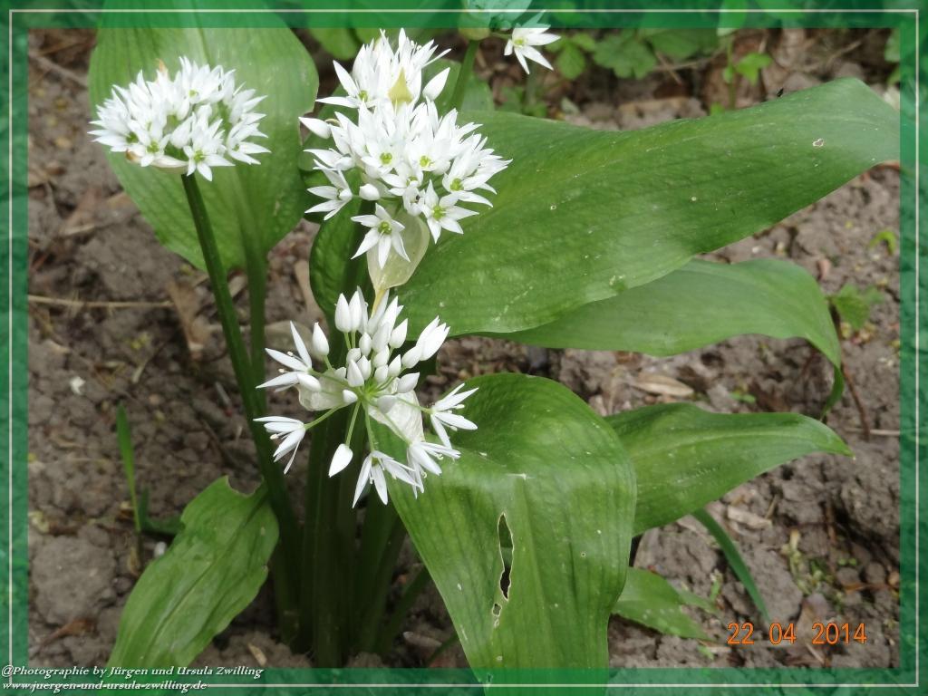22.04.2014 erstes Jahr im Garten Bärlauch (Allium ursinum)