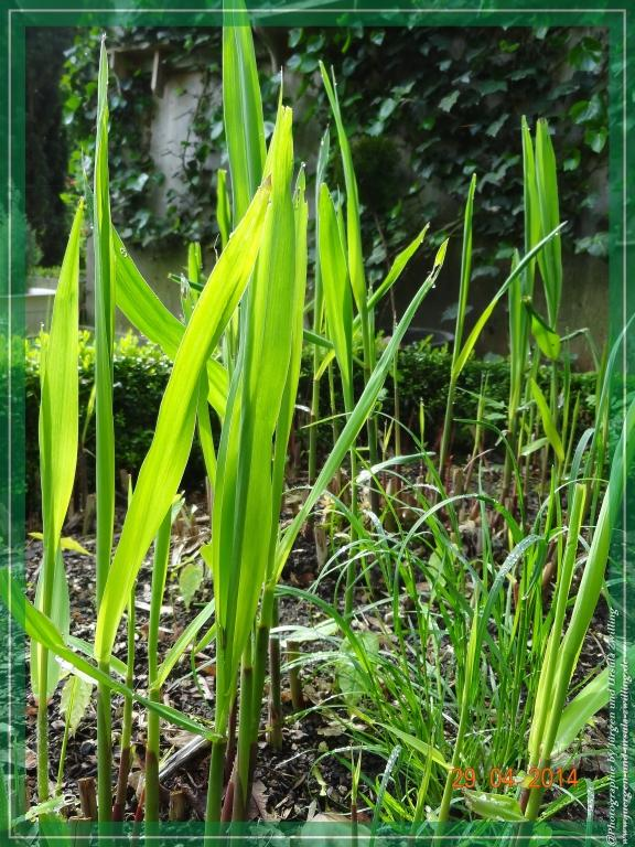 29.04.2014 Chinaschilf (Miscanthus sinensis)
