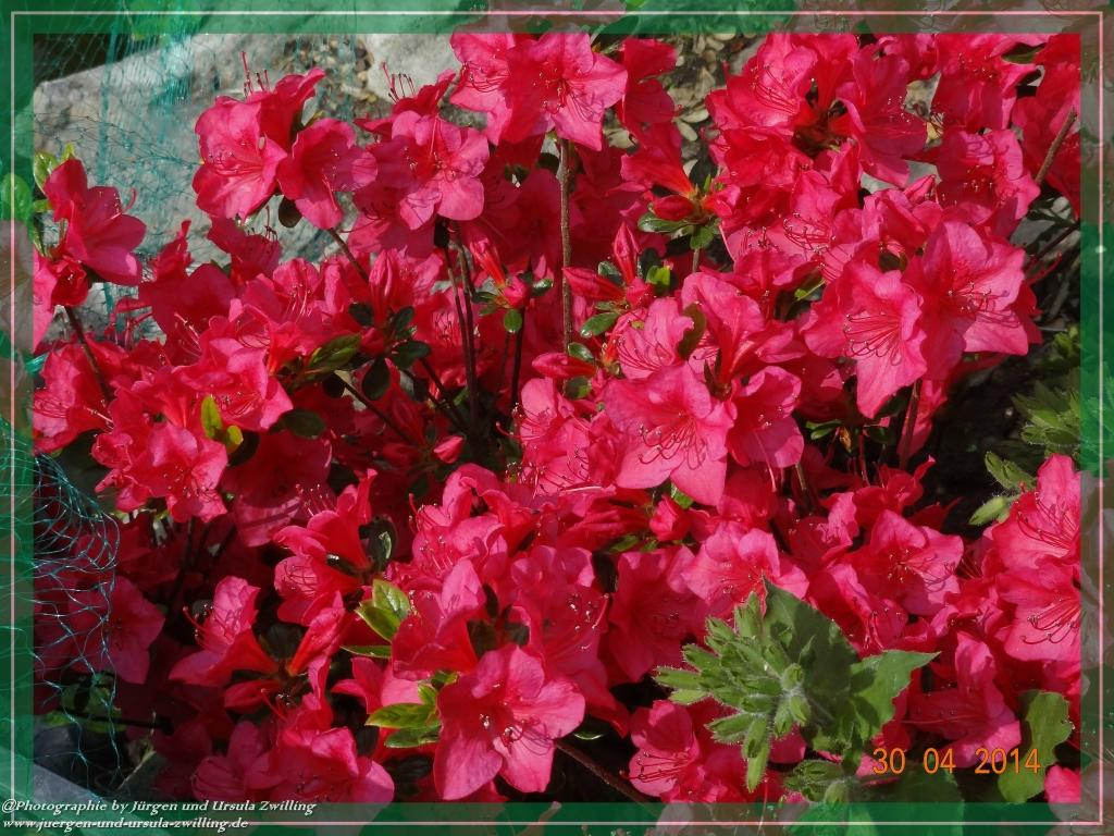 30.04.2014 Pink Azalee
