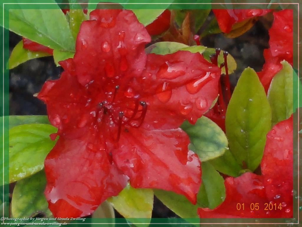 01.05.2014 Rote Azalee