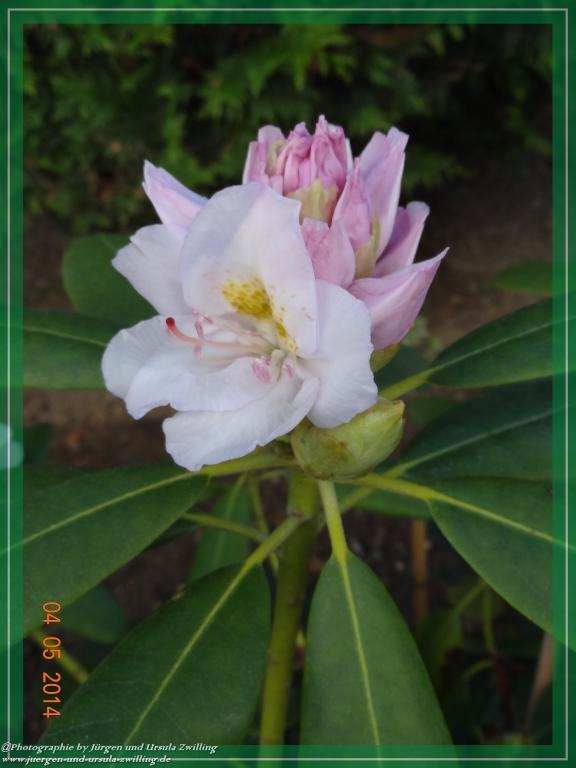 03.05.2014 Rhododendron
