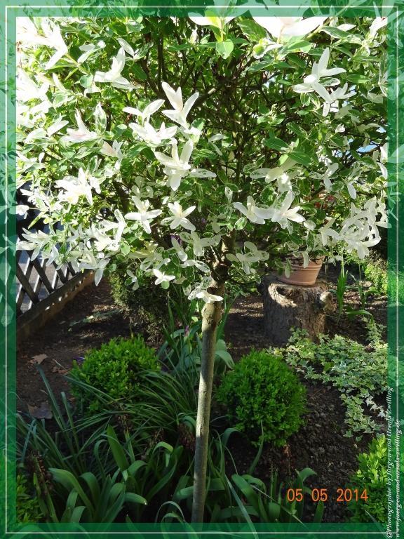 05.05.2014  Drachenweide Salix sachalinensis Sekka