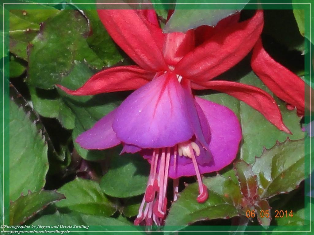 06.05.2014 - Fuchsien (Fuchsia)