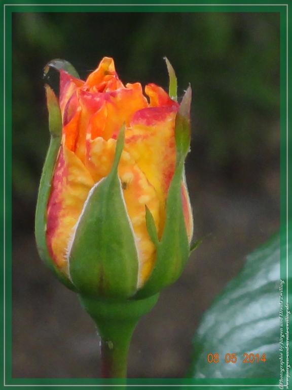 08.05.2014 erste Rose 2014 von Nachbar\'s Katze beobachtet