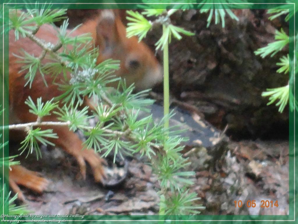 10.05.2014 Eichhörnchen (Sciurus vulgaris) Besuch