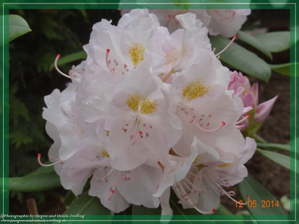 12.05.2014  Rhododendron in voll Blüte