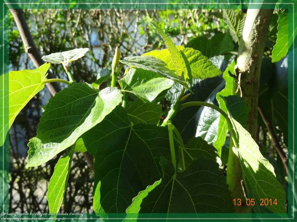 13.05.2014 - Echte Feige (Ficus carica)