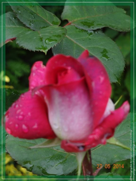 27.05.2014 Kurzbesuch an der Nostalgischen Rose