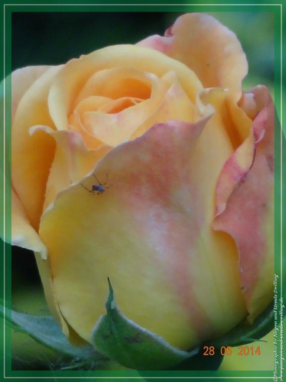 28.05.2014 - gelbe Rose