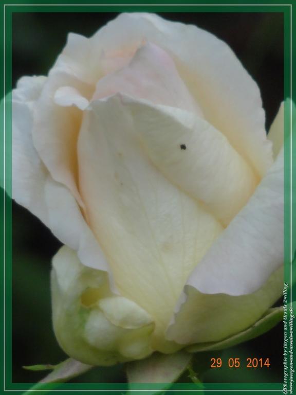 29.05.2014 - Weiße Rose