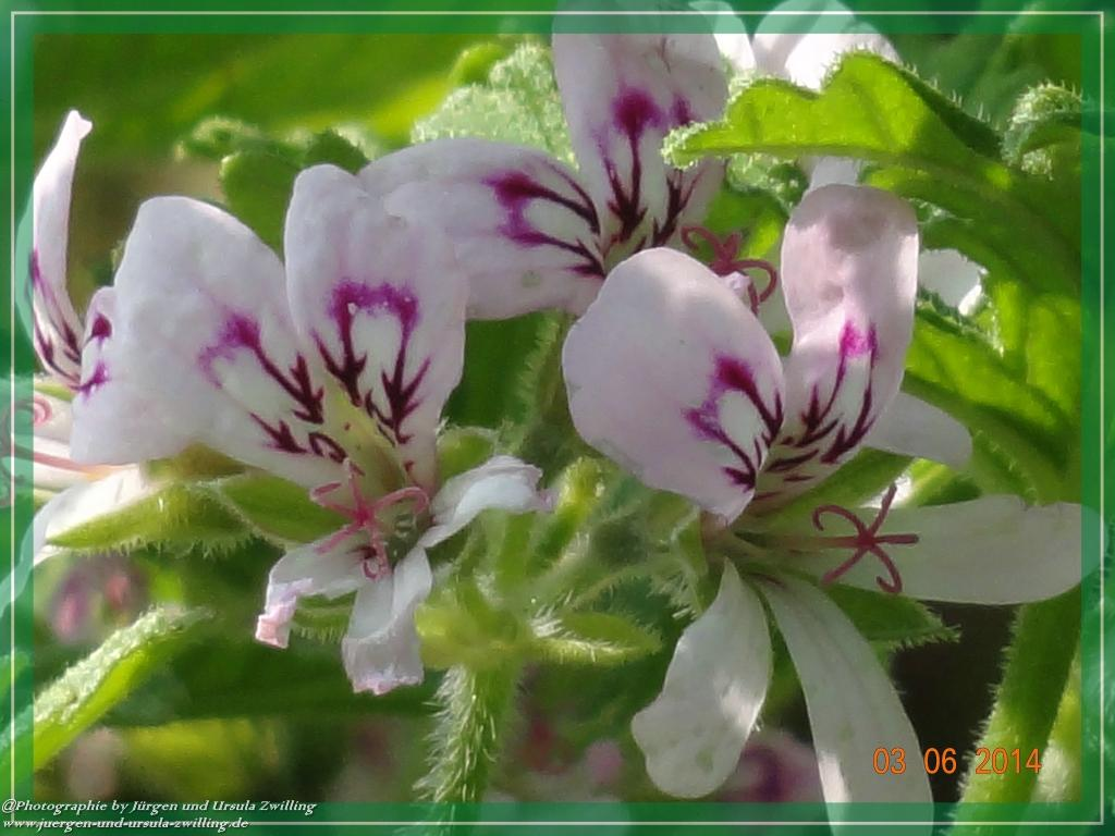 03.06.2014 -Zitronengeranie (Pelargonium graveolens)