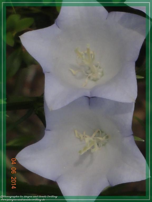 04.06.2014 Glockenblumen (Campanula)