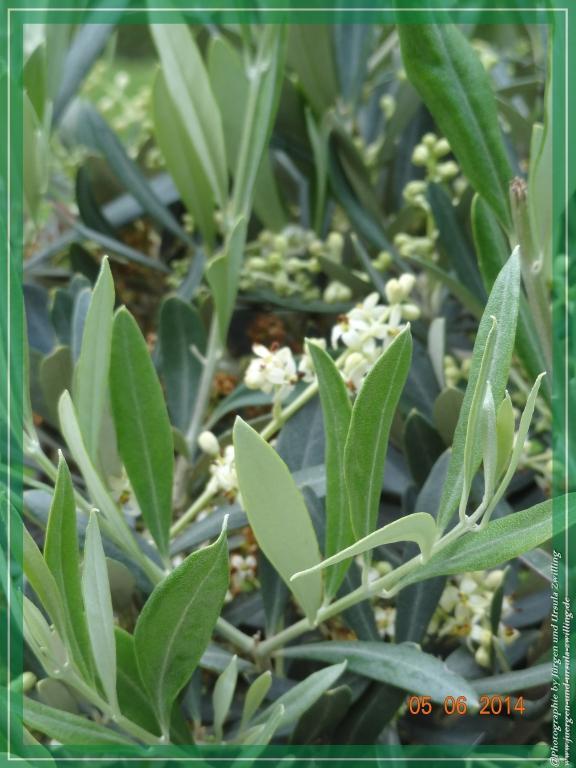 05.06.2014 - Blüte des Olivenbaum-Stämmchen (Olea europaea)