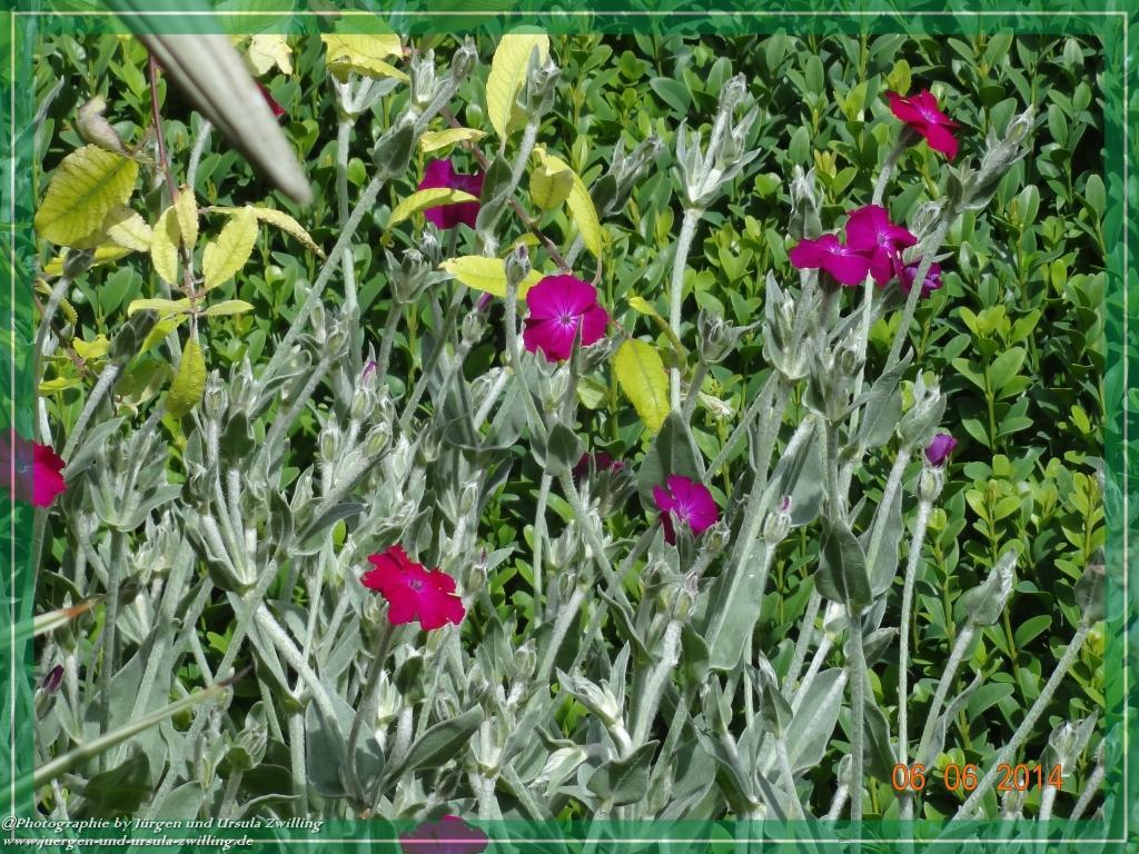 06.06.2014 Lichtnelke (Lychnis Coronaria)