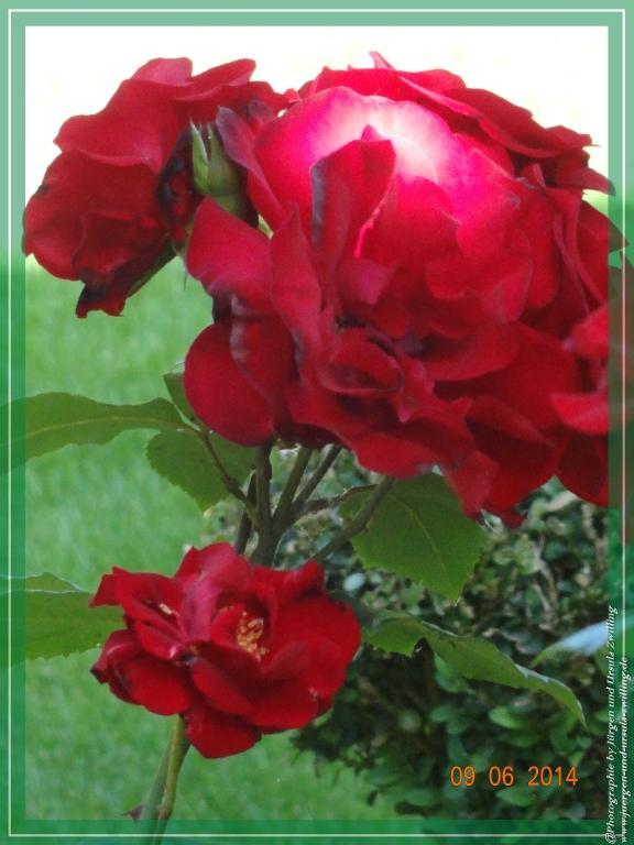09.06.2014 - Rote Rosen an Pfingsten, wer träumt da nicht von Roten Lippen,  Rotem Wein