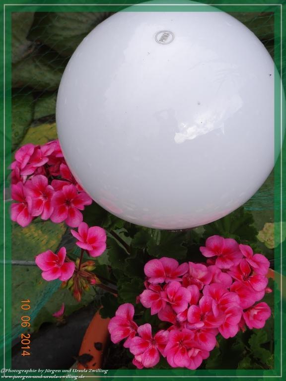 10.06.2014 - Geranien in Pink
