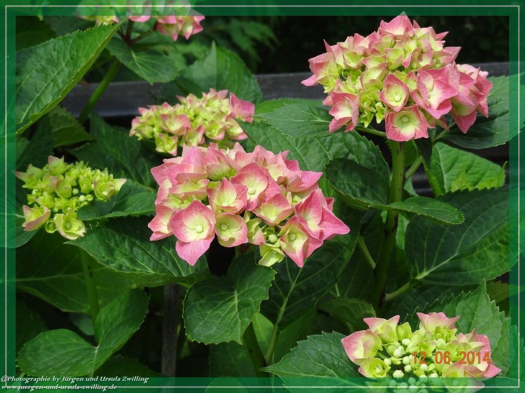 12.06.2014 - Start up für rosa Hortensien