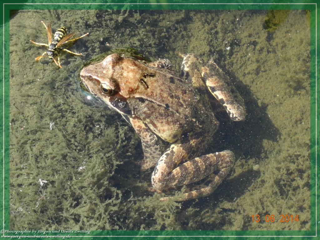 13.06.2014 - Kröte im Teich