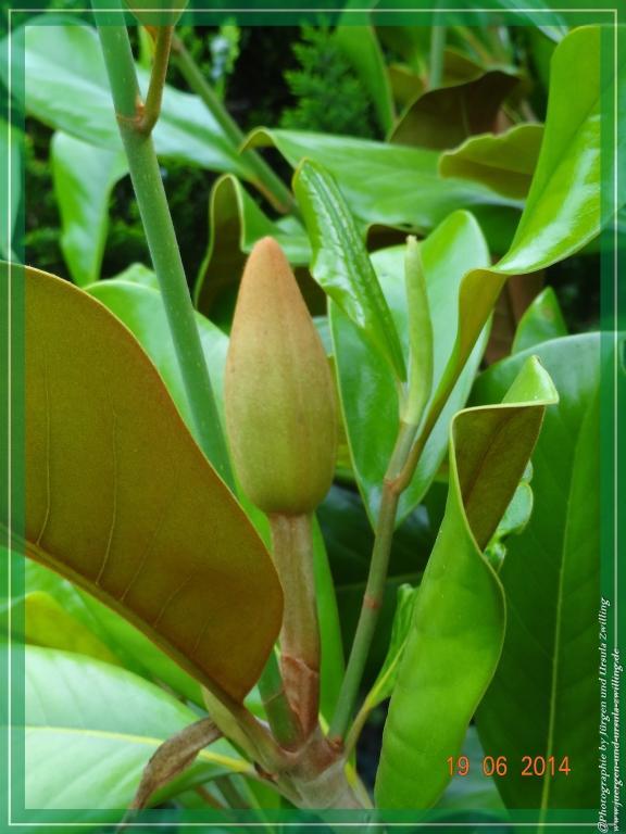 19.06.2014 - Blüte der Immergrünen Magnolie (Magnolia grandiflora ) 7 Jahre auf die erste Blüte gewartet