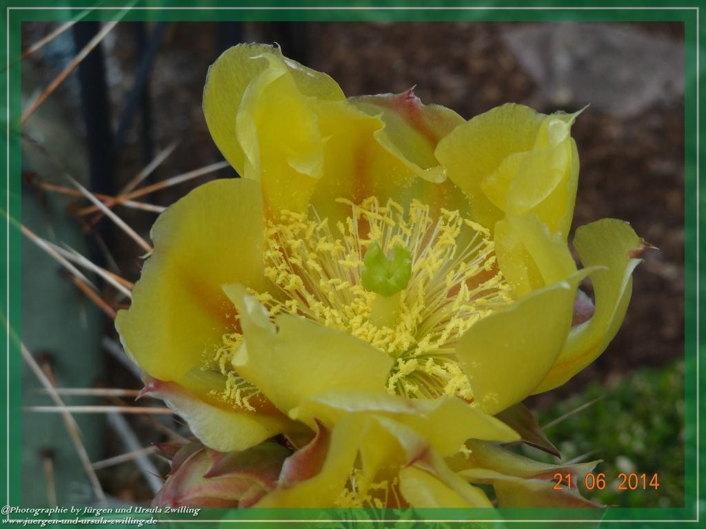 21.06.2014 - Blühender winterharter Kaktus Opuntia phaeacantha