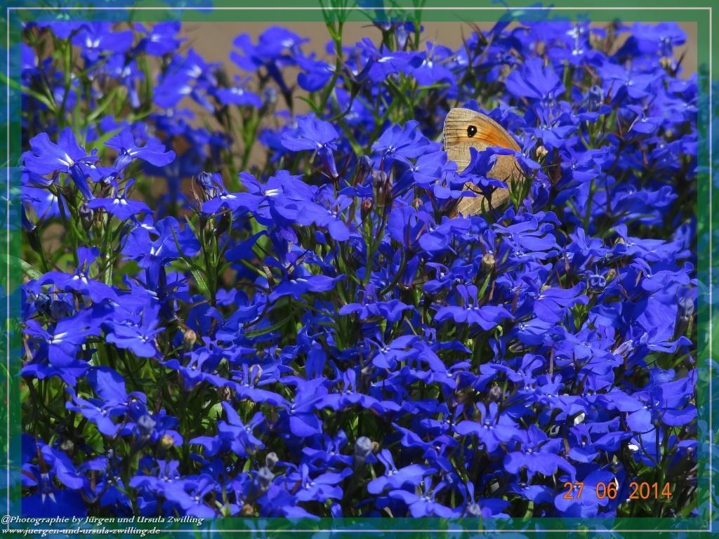 27.06.2014 - Schmettlingsbesuch im Blumenbeet